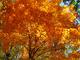 Fall Orange Maple Tree nature de                   Candie16 provenant de Photo arbres