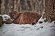 Mountain Cougar Snow Falling nature de                   Calypso92 provenant de Photo Faune