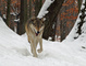 Winter Wolf Snow nature de                   Camilia65 provenant de Photo Faune