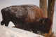 Buffalo Feeding Grass Snow nature de                   Damienne81 provenant de Photo Faune