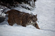 Bobcat Snow White Under Tree nature de                   Danele36 provenant de Photo Faune