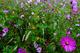 Autumn Flower Field Large Purple Flower nature de                   Calyssa94 provenant de Photo Fleurs