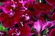Dianthus Macro nature de                   Camillia68 provenant de Photo Fleurs