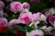 Photo photo-fleurs : fleurs : 23651