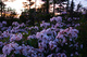 Photo photo-fleurs : fleurs : 23711